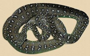adult diamond python