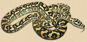 adult jungle python