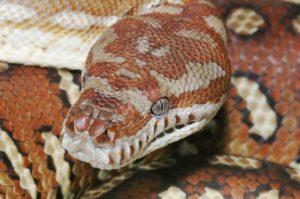 centralian carpet python (Bredl's python)