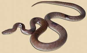 adult 'piebald' children's python - founder for a new Snake Ranch project