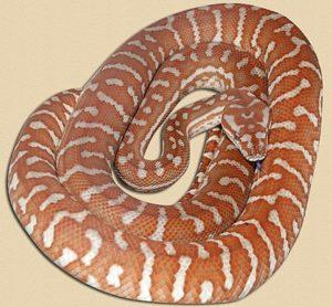 eight months old 'hypo' Bredl's python