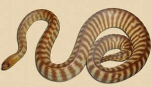 adult 'Tanami' type woma