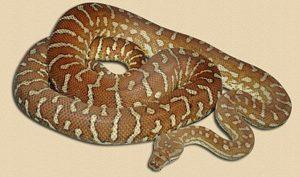 adult Bredl's python