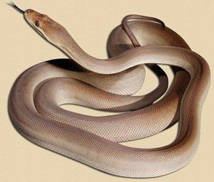 representative image of olive python hatchling
