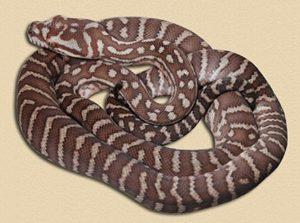 bredl's python hatchling