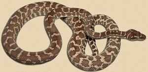 adult rough-scaled python