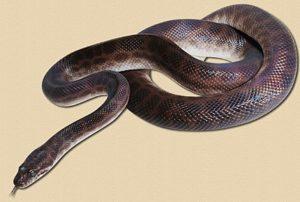 adult Children's python