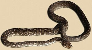 representative image of diamond python hatchling