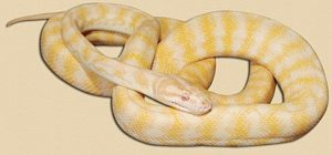 Darwin Carpet Python Snake Ranch