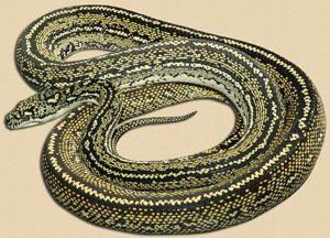 striped specimen from Taree, NSW