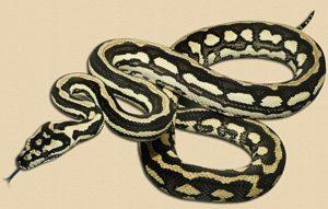 sub-adult 'tiger' jungle python