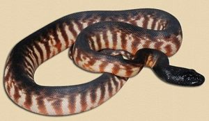 hatchlingQld black-headed python