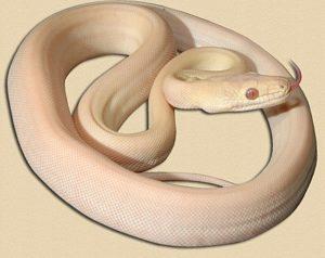 representative image of albino olive python hatchling