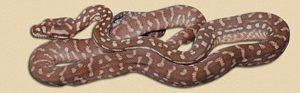 hatchling 'hypo' Bredl's python