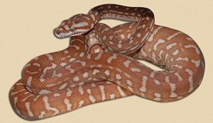 fivemonths old 'hypo' Bredl's python