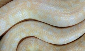 Closeup view of 'Ribald Rodney' founder of the Snake Ranch albino spotted python project.